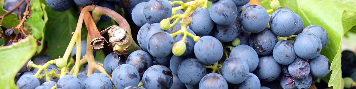 Winogronowe żniwa