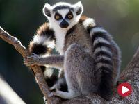 Planeta lasów. Duchy Madagaskaru