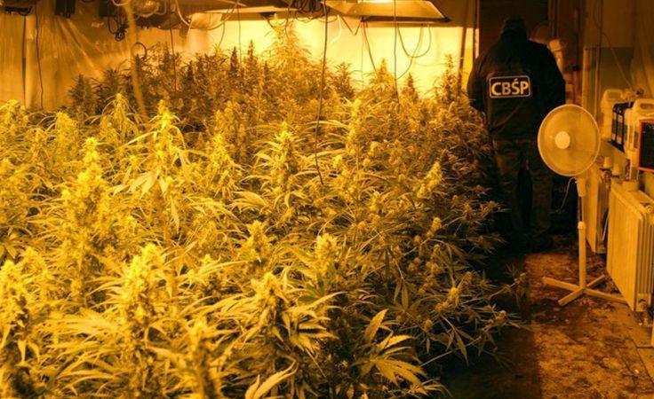 Likwidacja plantacji marihuany (fot. CBŚP)