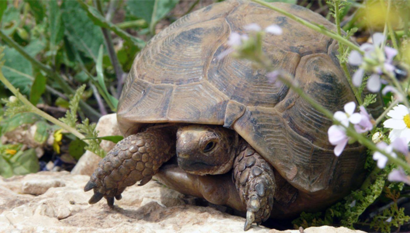 16-letnia żółwica wróciła do właściciela bez żadnych obrażeń (fot. Wiki/Alastair Rae)