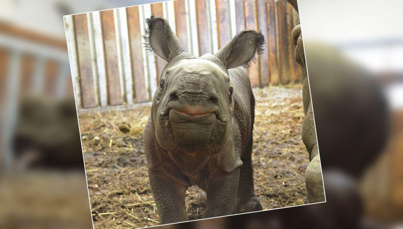 W piątek rano urodził się mały nosorożec pancerny (fot. FB/WarszawskieZoo)