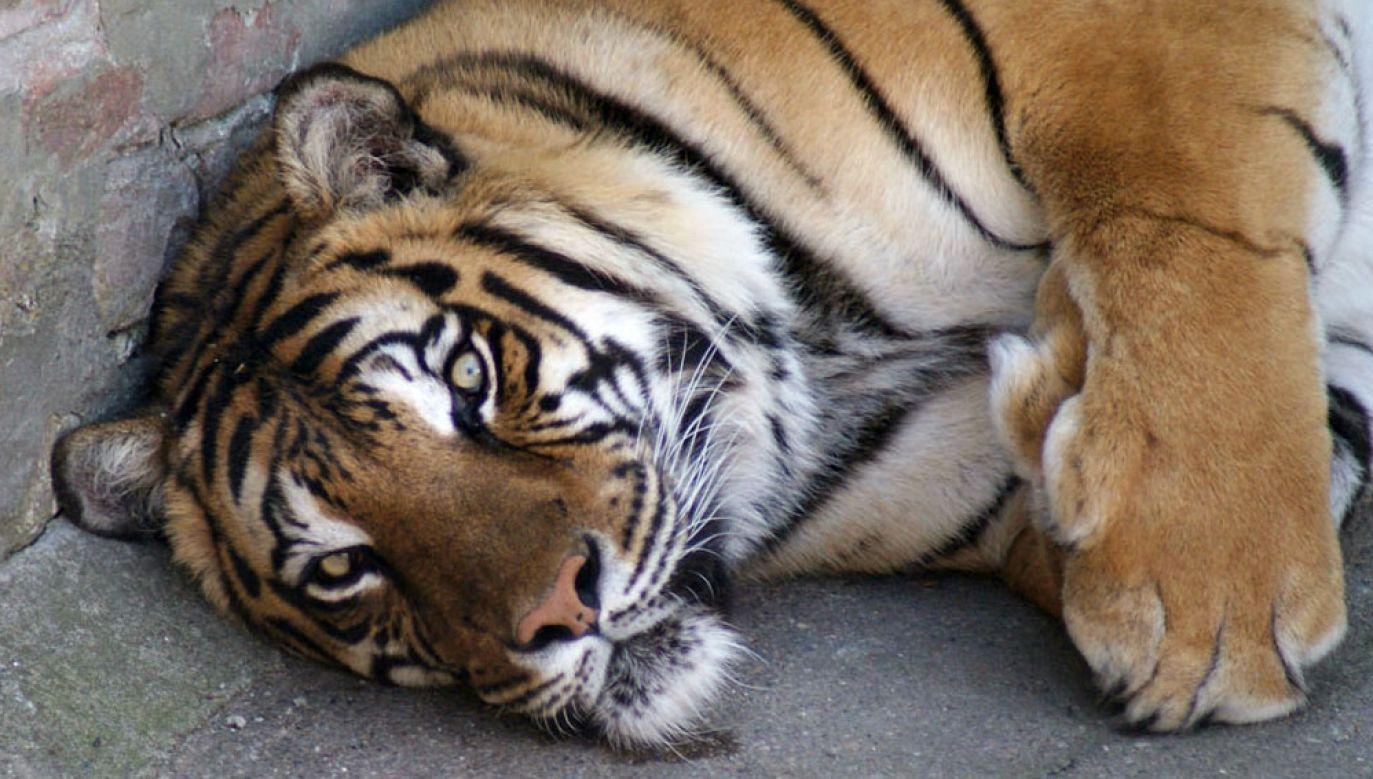 Tygrys biegał po Paryżu (fot. flickr.com/Daniel Kruczynski)
