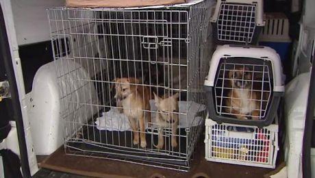 Zbierała psy. Musiał interweniować prokurator