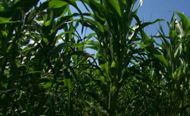 92-latka odnalazła się w polu kukurydzy