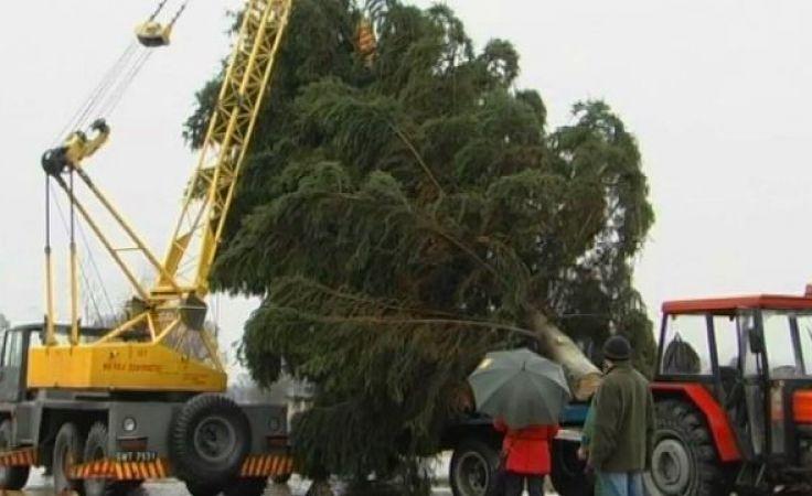 Z okazji jubileuszu na plac św. Piotra trafi drzewko z Mazur