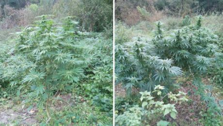 Krzewy konopi znalezione w lesie pod Świeciem