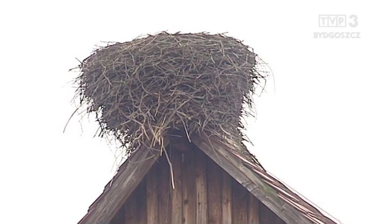 Bocianie gniazdo we wsi Weronika wisi na włosku