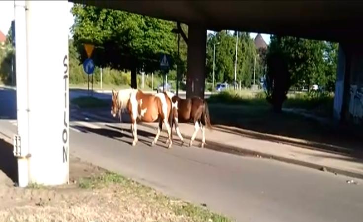 Film od widza: stado koni spacerowało po Gorzowie