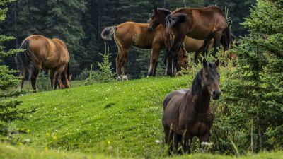 Dzikie konie kanadyjskich Gór Skalistych