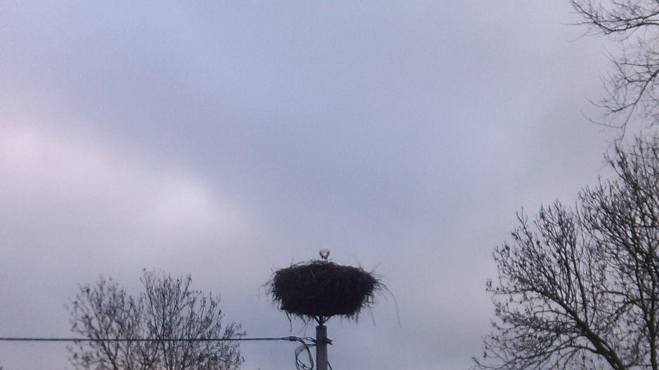 Bocian Maciek w gnieździe w Łęgnowie (fot. 3)