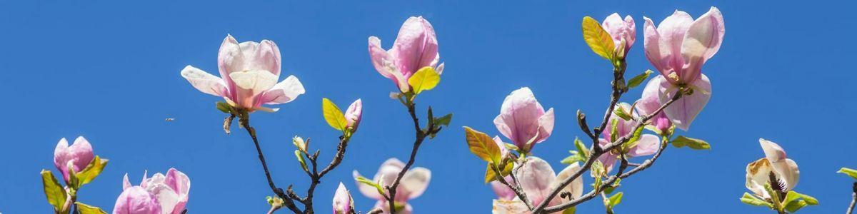 Barwy magnolii