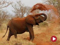 Podróżnik, Słonie z Tsavo
