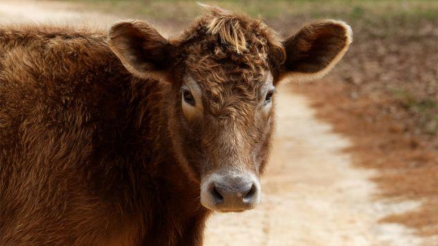 Od krowy zdrowe nie tylko mleko? To zbadają naukowcy z Indii (fot.pixabay.com/edbo23)