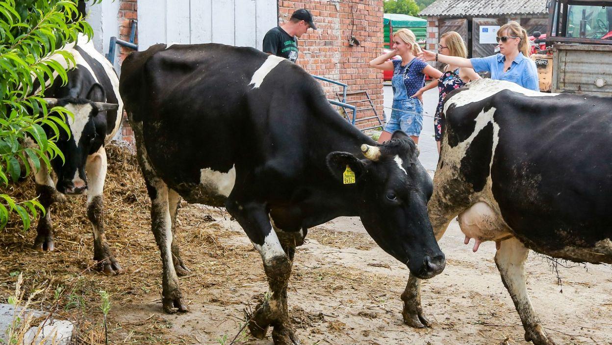 …przy dojeniu krów? (fot. TVP)