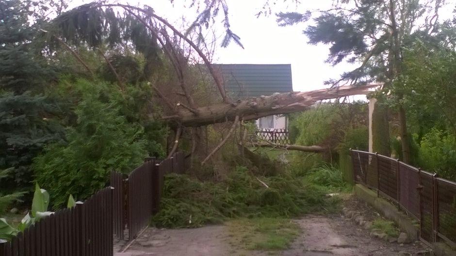 Powalone drzewa na ulicach Żnina (fot. Katarzyna Sulecka)