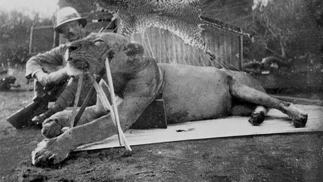 Jeden z zabitych lwów ludojadów (fot. The Field Museum)