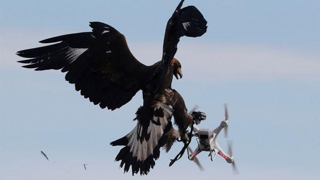 Francuscy wojskowi pracują z orłami już od roku (fot.REUTERS/Regis Duvignau)