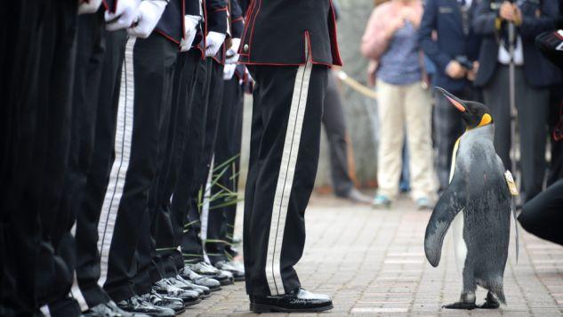 Od 2005 roku Nils Olav II był honorowym pułkownikiem (fot.PAP/EPA/MARK OWENS/ARMY/MOD/HANDOUT MANDATORY)