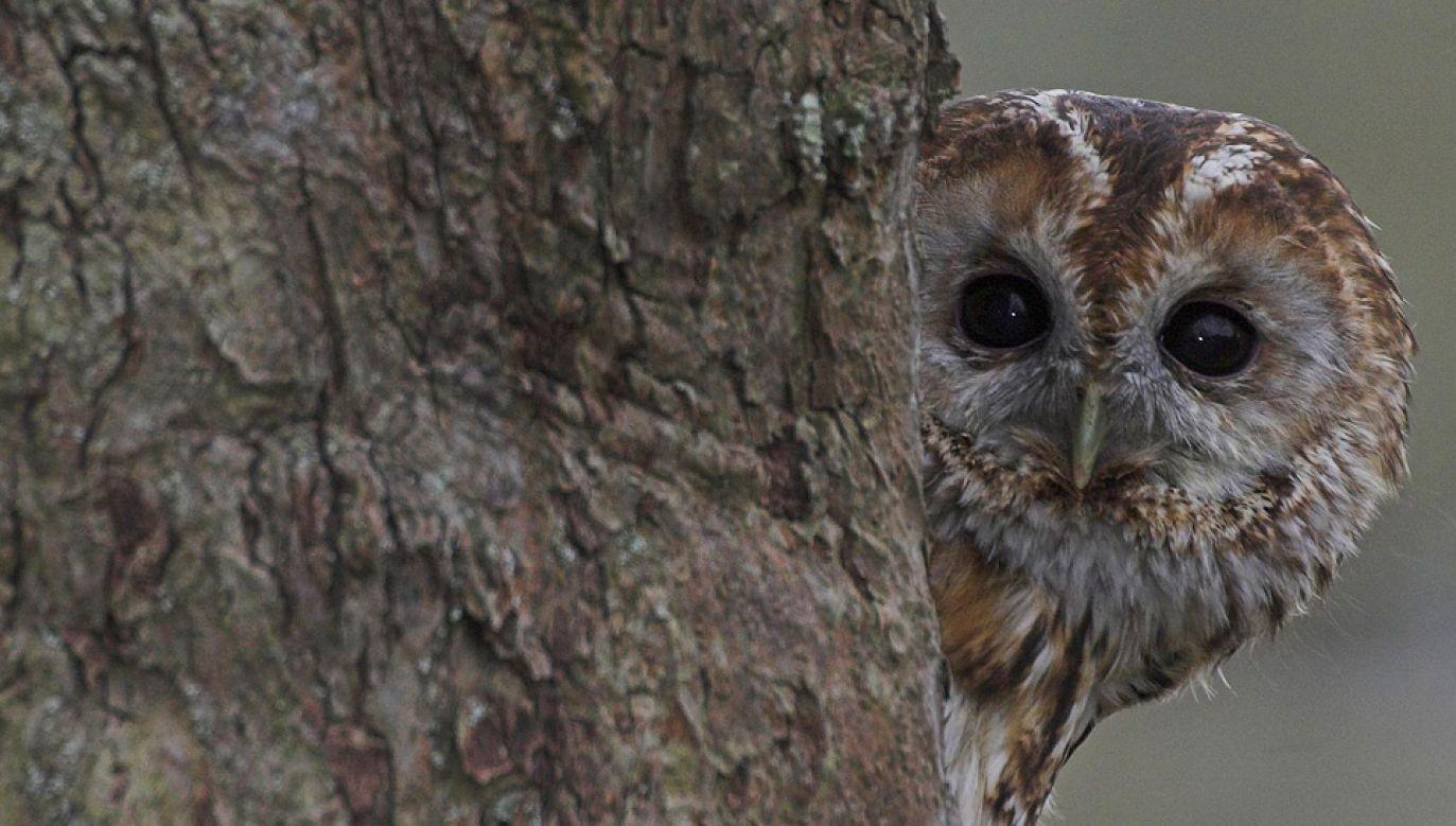 Ptak mógł spędzić w kominie nawet kilka dni (fot. Wiki/Joe Pell)