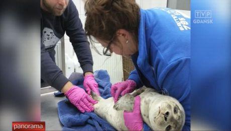 Mała foczka odnaleziona na plaży w Rowach