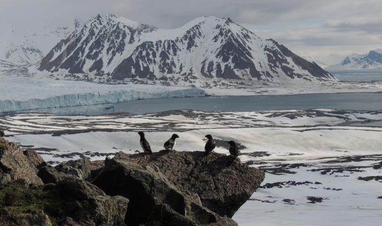 Wraz z ocieplaniem klimatu, pod ptasimi koloniami na Spitsbergenie robi się coraz cieplej, znika lód.
