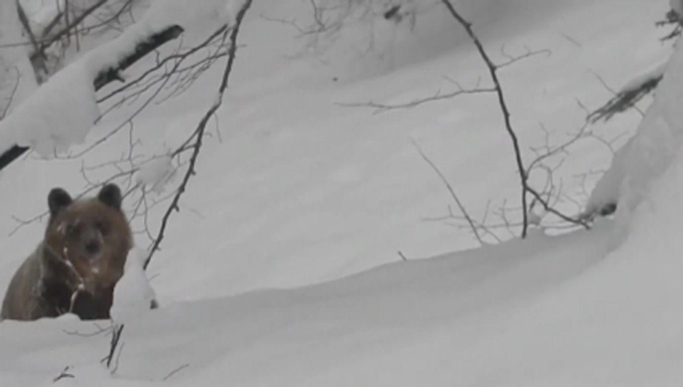 Niedźwiedź to nie miś (fot. TVP Info)