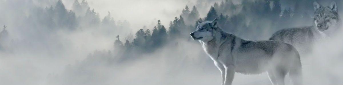 Przemiana wilka