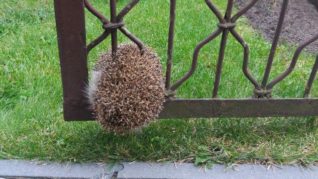 Zwierzę utknęło między prętami ogrodzenia (fot. Straż Miejska Miasta Poznań)