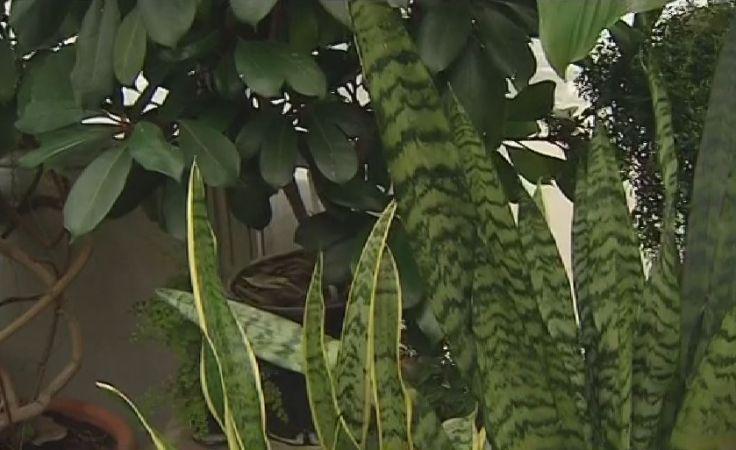 Domowy filtr powietrza. Rośliny antysmogowe