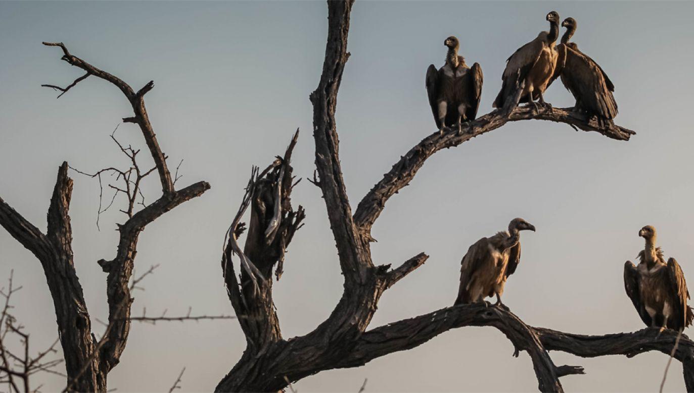 Kondor olbrzymi jest jednym z największych ptaków świata (fot. Pexels)