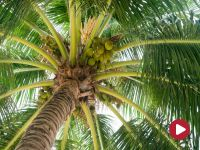 Boso przez świat, Kokosy z kokosów