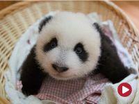 Małe pandy wielkie – film dokumentalny