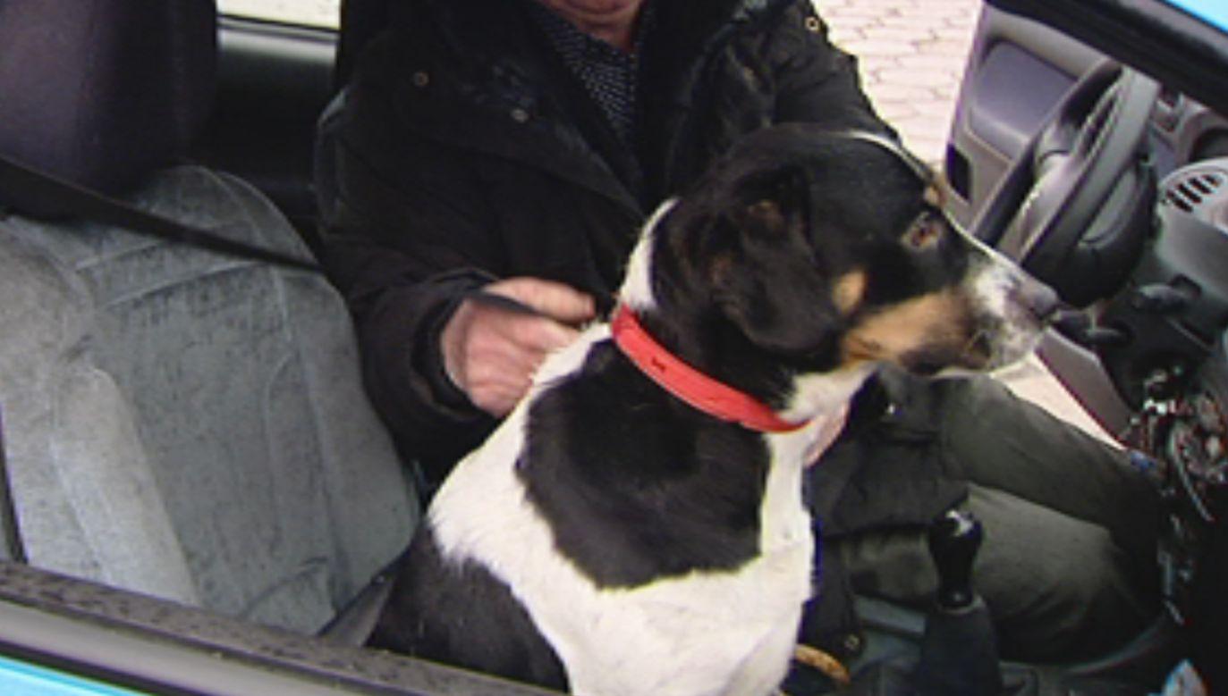 Pies jechał bez pasów (fot. TVP Info)