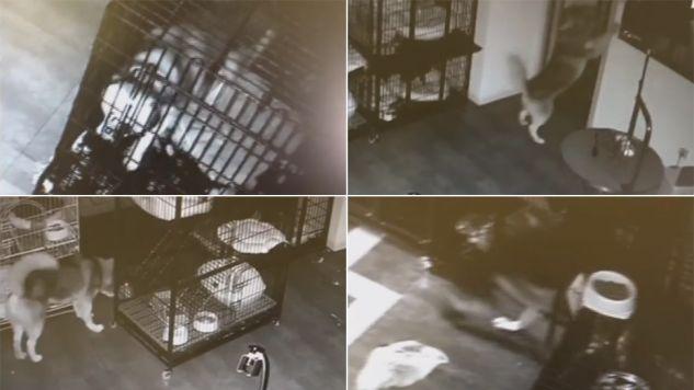 Tak poradził sobie z zamkiem klatki sprytny husky (fot.youtube.com/euronews)