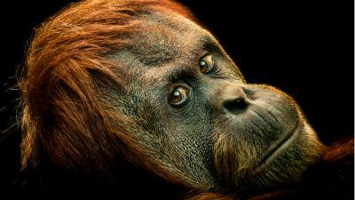 BBC w Jedynce - Małpy bez tajemnic