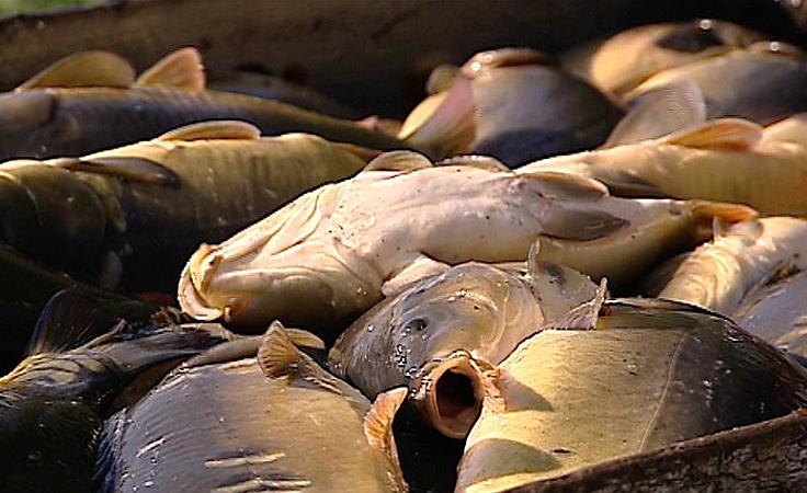 W gospodarstwach rybackich rozpoczęły się odłowy