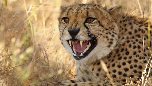Gepard rzucił się na kobietę (fot. Cameron Spencer/Getty Images)