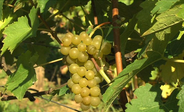 Właściciele podkarpackich winnic rozpoczęli zbiory