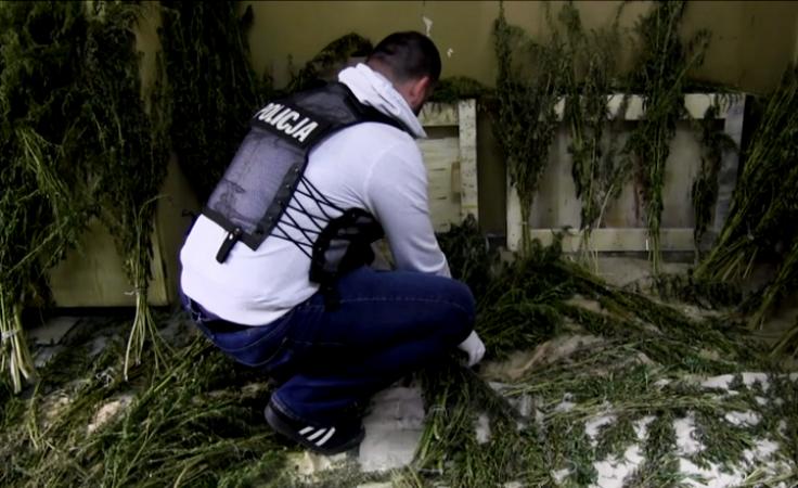 Policjanci znaleźli prawie 2 tys. krzewów konopi indyjskich