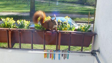 Zimą dokarmiał sikorki. Wiosną odwiedziła go wiewiórka