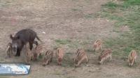 Uwaga na stada dzików!