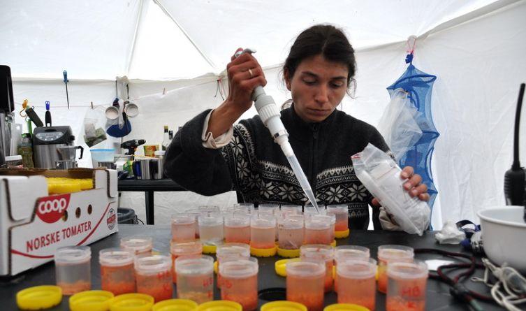 Nawet pod namiotami trzeba zachować standardy laboratoryjne – utrwalanie prób pokarmowych pobranych od dorosłych alczyków.
