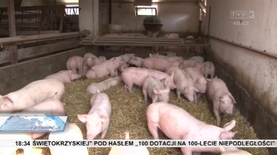 Afrykański pomór świń powodem protestów weterynarzy