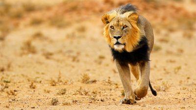 Natura w Jedynce - Pustynne lwy