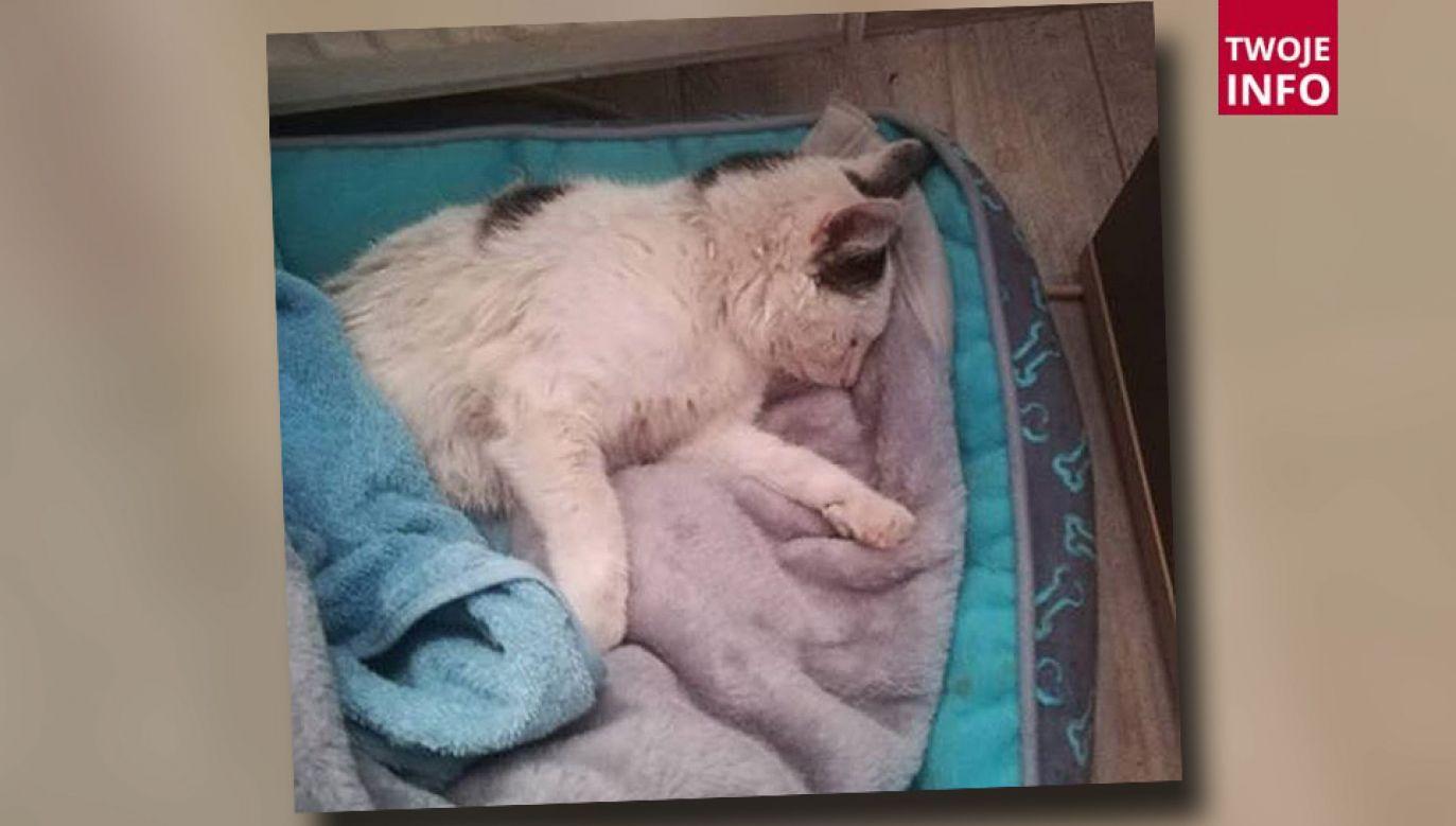 Kotka musiała być uśpiona (fot. Twoje Info/Dorian Guszpit)