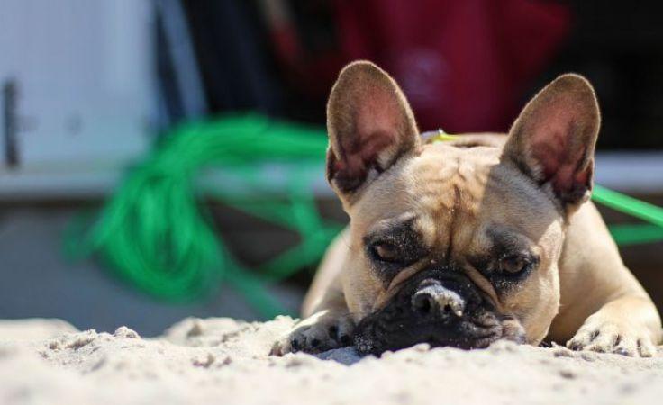 Zerwanie więzadeł krzyżowych w psich kolanach to poważny i powszechny problem (zdjęcie jest ilustracją do tekstu)