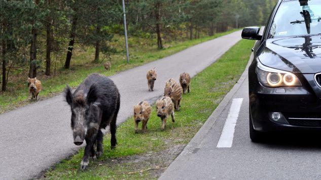Dziki były zarażone wirusem ASF (fot. arch/PAP/Marcin Bielecki)