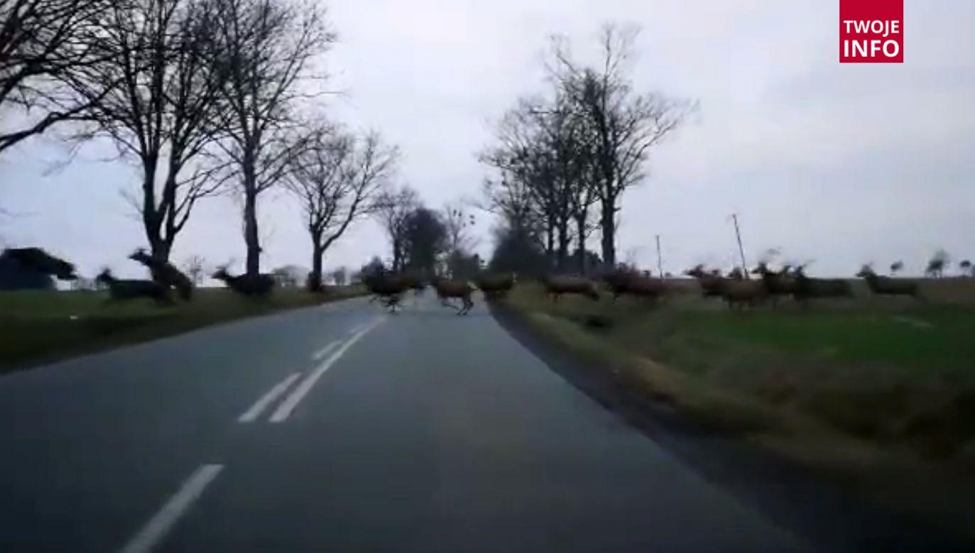 W poprzek drogi przebiegło całe stado jeleni (fot. Twoje Info)