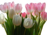 Czar tulipanów