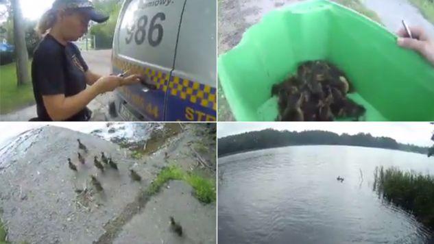 Kaczki bezpiecznie wróciły do parku (fot. Facebook/Straż Miejska w Szczecinku)